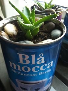 gammal kaffe plåtburk med aloe vera planta
