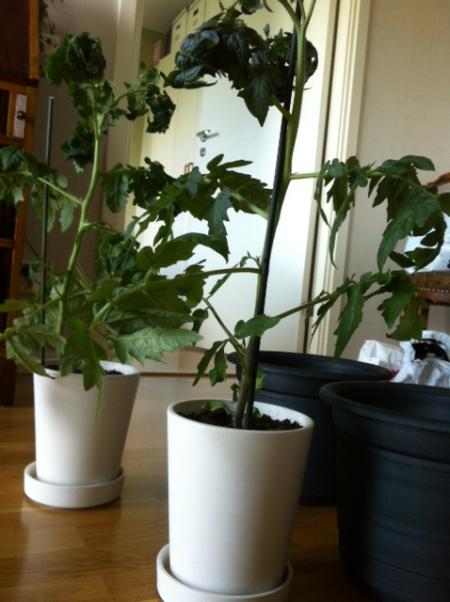 tomatplantorna innan omplanteringen