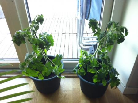 tomatplantorna vill ha ljus