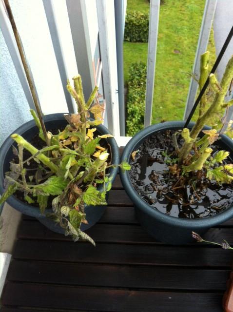 nerklippta-tomatplantor