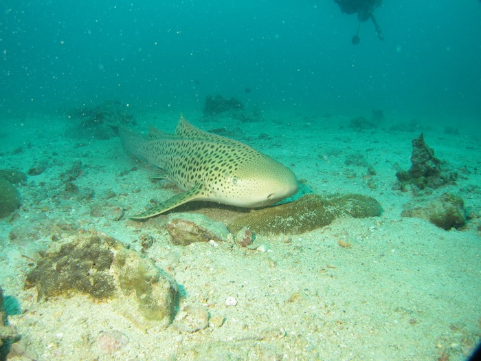 Leopard shark-Shark Point