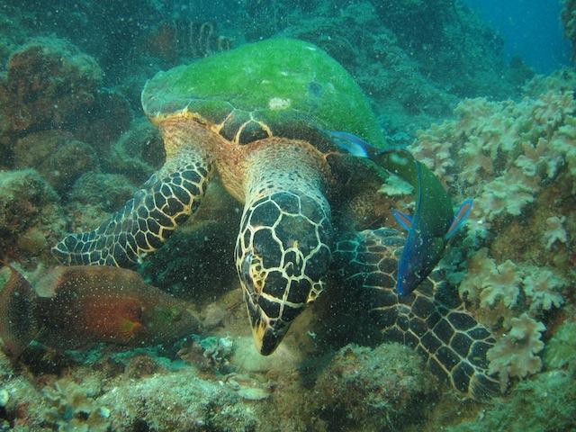 Sköldpadda som äter