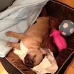 Fransk Bulldogg som sover