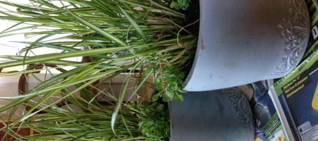 Gräs och Hänglobelia